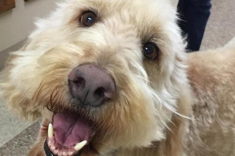 Handsome Harry the Goldendoodle
